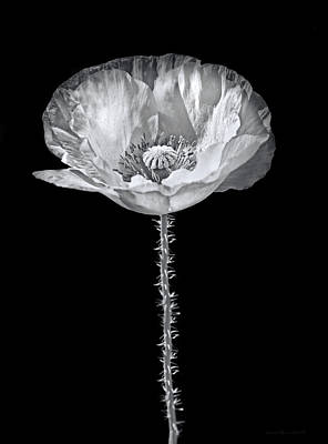 Gaugin Rights Managed Images - Dramatic Oriental Poppy in Black and White Royalty-Free Image by Jennie Marie Schell
