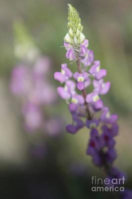Fruits And Vegetables Still Life - Dreamy Desert Lupine Coachella Valley Wildlife Preserve by Colleen Cornelius