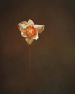 Lady Bug - Dried Daffodil by Scott Norris