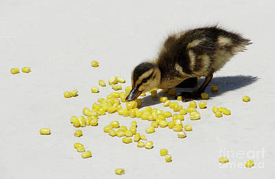 Photograph - Snack Time for a Baby Duck by Michele Burgess