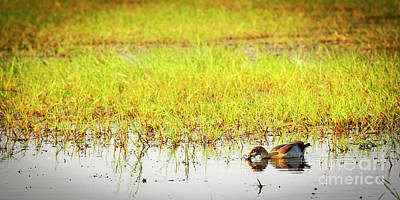 Royalty-Free and Rights-Managed Images - Duck on the Chobe River by THP Creative
