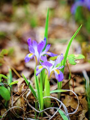 Classic Christmas Movies - Dwarf Iris in spring by Alexey Stiop