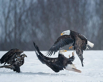 Birds Rights Managed Images - Eagle dance 2 Royalty-Free Image by Murray Rudd