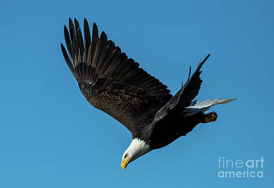 Royalty-Free and Rights-Managed Images - Eagle Dive by Mike Dawson
