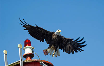 Photograph - Eagle takes Flight by Mediamerge - Dan Roitner
