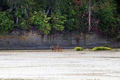 Animal Portraits - Early Morning Deer in the Maumee River at Farnsworth  3150 by Jack Schultz