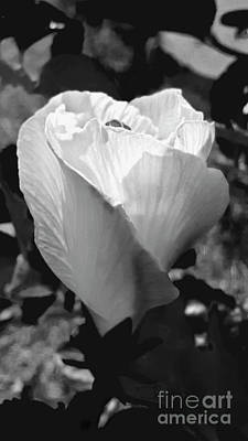Whimsically Poetic Photographs - Early Morning Hibiscus Waking Up by Julieanne Case