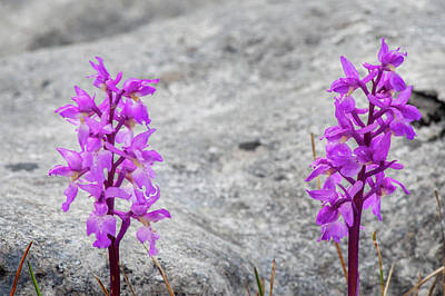 Anchor Down - Early Purple Orchids by Rob Hemphill
