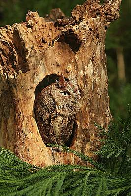 Lori A Cash Royalty-Free and Rights-Managed Images - Eastern Screech Owl Peeking Out by Lori A Cash
