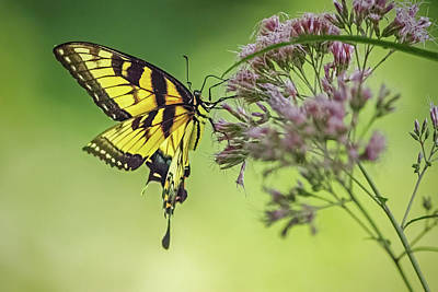 Ira Marcus Royalty-Free and Rights-Managed Images - Eastern Swallowtail Butterfly Gathering Nectar by Ira Marcus