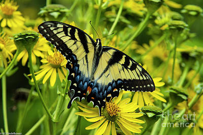 Celebrity Watercolors - Eastern Tiger Swallowtail by Mitch Shindelbower