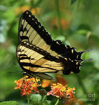 Farm House Style - Eastern Tiger Swallowtail by Skip Willits