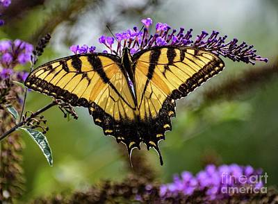 Abstract Works - Eastern Tiger Swallowtail Vision Of Loveliness by Cindy Treger