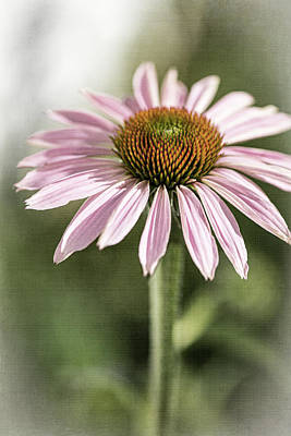 Irish Leprechauns - Echinacea-Not So Purple Coneflower by Judy Wolinsky