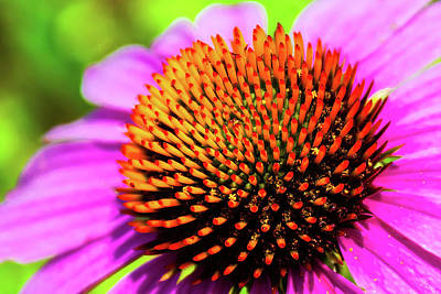 Old Masters Royalty Free Images - Echinacea Purpurea Royalty-Free Image by David Beard