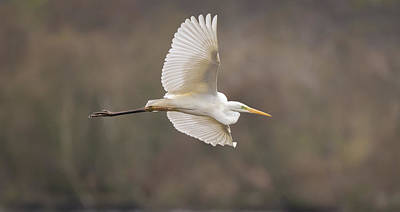 Animals Royalty-Free and Rights-Managed Images - Egret Flight by Tobias Luxberg