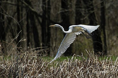 Animals Royalty-Free and Rights-Managed Images - Egret Leap by James Guilford