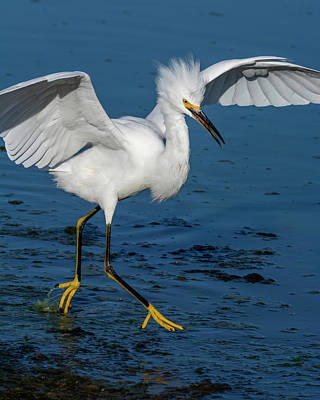 Old Masters - Egret on the Move  09/26 by Bruce Frye