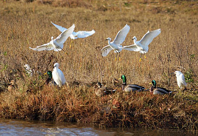 Moody Trees Rights Managed Images - Egrets and Mallards Royalty-Free Image by Brian Tada