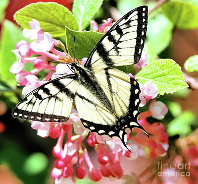 Farmhouse Rights Managed Images - Elegant Eastern Swallowtail Royalty-Free Image by Tina LeCour