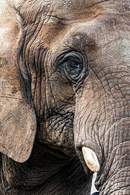 Animals Royalty-Free and Rights-Managed Images - Elephant Eye by Patti Deters