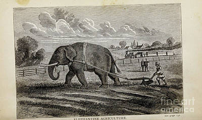 Animals Drawings - ELEPHANTINE AGRICULTURE i by Historic illustrations