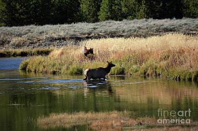 Photograph - Elk Cow Enjoying Wading in Yellowstone River by Rose De Dan