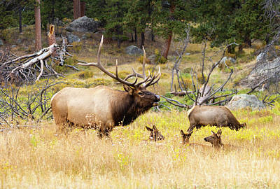 Steven Krull Royalty-Free and Rights-Managed Images - Elk Herd on a Rocky Mountain Autumn Evening by Steven Krull
