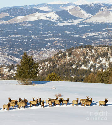 Recently Sold - Steven Krull Royalty-Free and Rights-Managed Images - Elk Herd on Snowy Mountain by Steven Krull