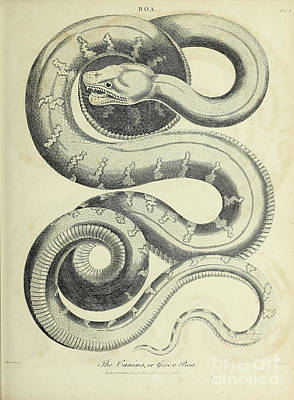 Animals Drawings - Emerald tree boa h1 by Historic illustrations