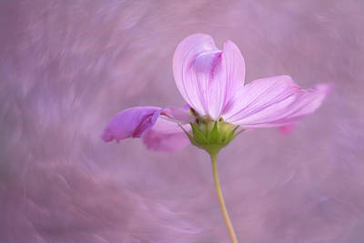 Photograph - Enchanted Cosmos by Kathleen Clemons