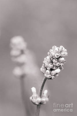 Photograph - English Lavender Mono by Tanya C Smith