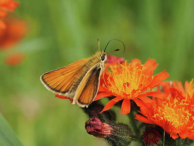 Traditional Bells Rights Managed Images - Essex skipper Royalty-Free Image by James Peterson
