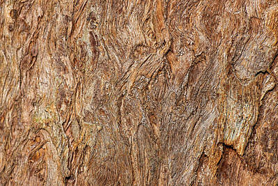 Sean Rights Managed Images - Eucalyptus microcorys Royalty-Free Image by Rob Downer