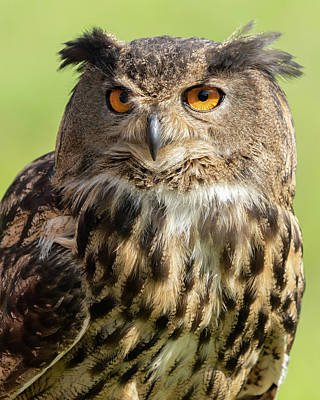 Urban Abstracts Royalty Free Images - Eurasian owl close up Royalty-Free Image by Jack Nevitt