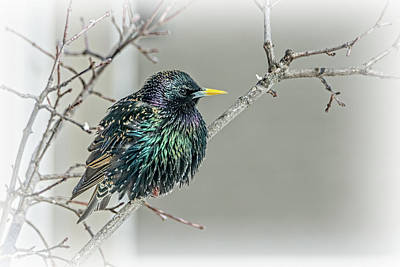 Outerspace Patenets Rights Managed Images - European Starling Showing Its Colors Royalty-Free Image by Debra Martz