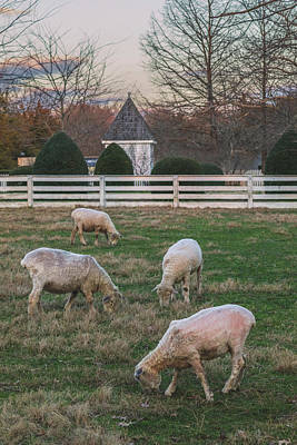 Photo Royalty Free Images - Ewes in February Royalty-Free Image by Rachel Morrison