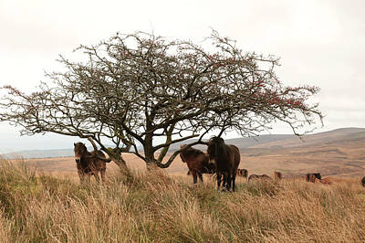 Photograph - Exmoor Ponies by Mike Finding