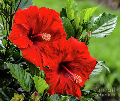 Priska Wettstein Land Shapes Series - Exquisite Pair of Hibiscus by Cindy Treger