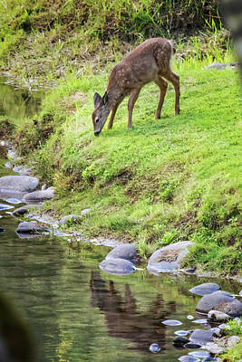 Animals Royalty-Free and Rights-Managed Images - Fawn on the McKenzie, No. 5 by Belinda Greb