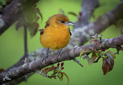 Photograph - Female Baltimore Oriole at my Window This Morning by Ricky L Jones