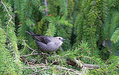 Animals Royalty-Free and Rights-Managed Images - Female Cowbird by Debbie Oppermann