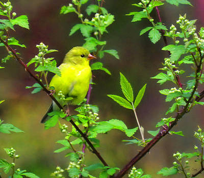 Impressionist Nudes Old Masters - Female Goldfinch On Wild Rose by Bellesouth Studio