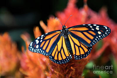 Pineapple - Female Monarch Butterfly by Kasia Bitner