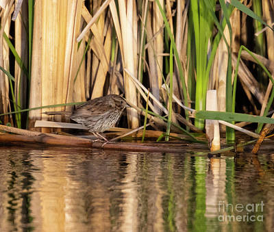 Steven Krull Royalty-Free and Rights-Managed Images - Female Red Wing Blackbird by Steven Krull