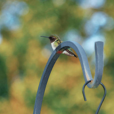Olympic Sports - Female Ruby-Throated Hummingbird by Frank Mari