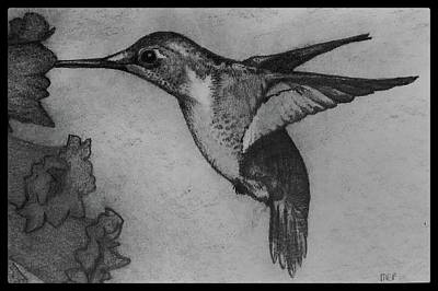 Animals Drawings - Female Ruby Throated Hummingbird W/ Border by Michael Panno