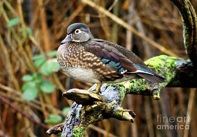 Lovely Lavender - Female Wood Duck On Tree  by Terry Elniski