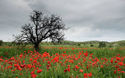 Curated Beach Towels - Field full of red beautiful poppy anemone flowers and a lonely dry tree. Spring time, spring landscape Cyprus. by Michalakis Ppalis