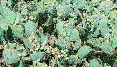 Royalty-Free and Rights-Managed Images - Field Of Cactus, Prickly Pear Cactus, Cactus Spines, Close Up Background by Julien